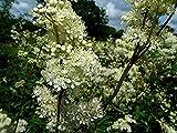 HOT - Filipendula (Meadowsweet) ulmaria 1,000 Seeds