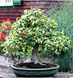 Bonsai rambutan Seed red Fruits Seeds Rare Exotic Plants Gift Home Decor Pot Art