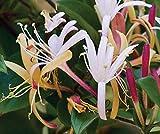 Purple Leaf Japanese Honeysuckle - Lonicera