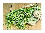 Seeds estragon herb Tarragon Artemisia Dracunculus Perennial from Ukraine 0.1 Gram(500seeds)