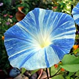 Flying Saucer Morning Glory 30 Seeds - UNTREATED/FRESH