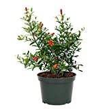 "AMERICAN PLANT EXCHANGE Dwarf Pomegranate Bush Indoor/Outdoor Air Purifier Live Plant, 6"" Pot, Fruit Producing!"