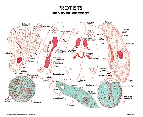 (Protista Wall Chart, Unmounted)