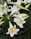 Lilium Longiflorum,Easter Lily, Nellie White(5 Bulbs)
