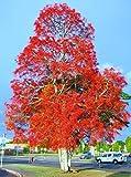 Brachychiton acerifolius, Exotic Illawarra Flame Tree Flowering Seed 30 Seeds