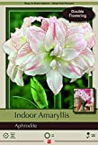 Aphrodite Double Amaryllis - Double Flower - Large Bulb