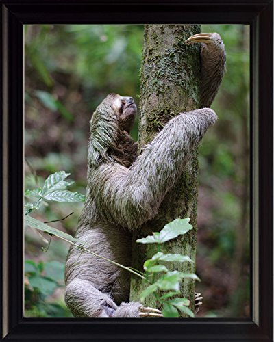 Wesellphotos Three-Toed Sloth Wildlife Animal Poster Framed Photo Picture Print - Room Decor Wall Art For Kids Baby Nursery Children (8X10 Framed) - Wesellphotos