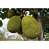 Jackfruit Tropical Fruit Trees 3-4 Feet Height in 3 Gallon Pot #BS1