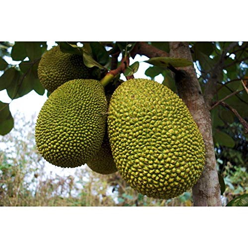 Jackfruit Tropical Fruit Trees 3-4 Feet Height in 3 Gallon Pot #BS1 by iniloplant (Image #3)