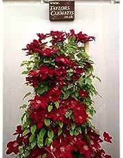 100pcs/bag Clematis seeds flowers clematis vine seeds perennial flower seeds climbing clematis plants bonsai pot garden plant 17