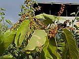 10 Seeds Citharexylum gentryi Ornamental Fiddlewood Tree