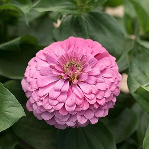 Zinnia Rosa alto - Semillas de flores Desi, 100 semillas/pack: Amazon.es: Jardín