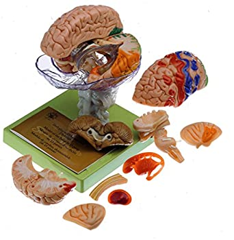 somso model of brain in 15 parts with indicated cytoarchitectural