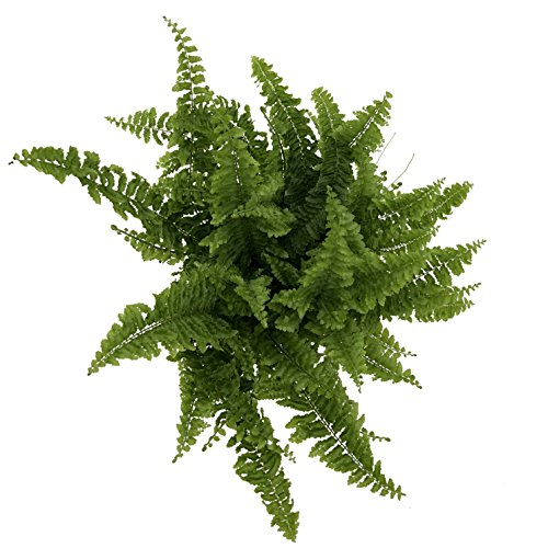 Costa Farms WaterWick Self-Watering Heart Design Planter w/ Premium Exotic Angel Live Indoor Love Fern Plant, 4.8-Inch Pot by Costa Farms (Image #3)