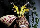 "Black Pagoda Lipstick Vine 4"" Pot - Aeschynanthus"