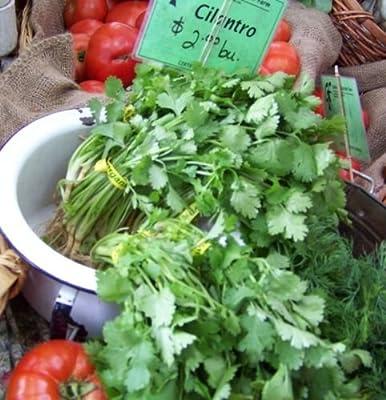 Cilantro, Coriander, Chinese Parsley, 150 Seeds! Groco
