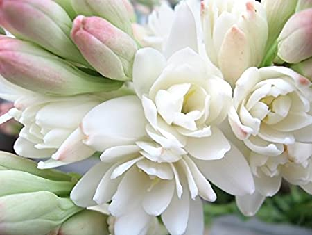 Polianthes Tuberose The Pearl Mole 2 bulbos Tuberosa Nardo