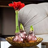 Jackson & Perkins Gift of the Magi Waxed Amaryllis Set
