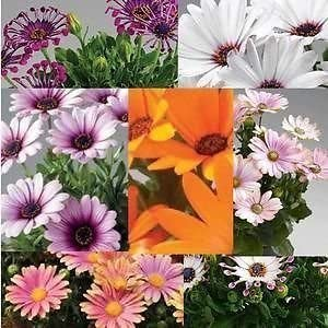 African Daisy 10 Low Maintenance Summer Flowering Bedding Plants Osteospermum Plug Plants Gardens /& Patios 10 x Osteospermum Purple Sun Posti Plug Plants by Thompson /& Morgan