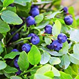 Outsidepride Blueberry Fruit Plant Vaccinium Myrtillus Seed - 1000 Seeds