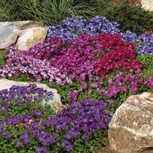 Amazon 50 Aubrieta Royal Mix Perennial Flower Seeds Ground