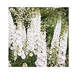 20x Giants Delphinium Cultorums F1Delphinium Seeds Plant # 292