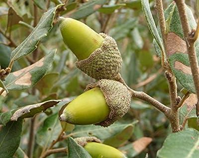 9 pcs/pkt Holm Oak Tree Seeds For Planting