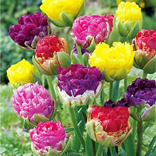 Qenci Seeds - 200Pcs Nice Adorable Flower Fragrant Seeds Fragrant Blooms Colorful Tulips Seeds Flowers