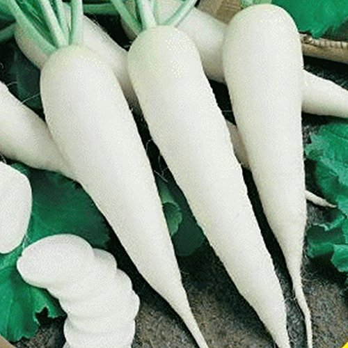 Everwilde Farms - 500 White Spear Sprouting Radish Seeds - Gold Vault Jumbo Seed (White Spears)