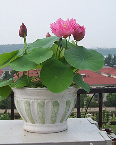Amazoncom Pink 20 Pcs Hydroponic Flowers Aquatic Plant Balcony