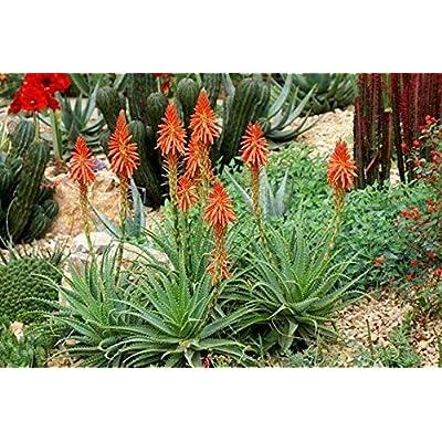 Aloe Blue Elf Flowering Live Plant : Garden & Outdoor