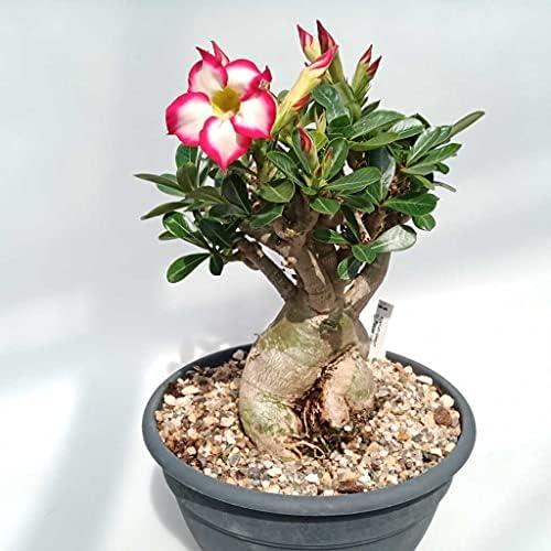 Rose planta _image1