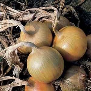 9x Bedfordshire Champion cebolla Bare raíces–Enchufe plants- menor de Alisa Craig–una fija p & p por pedido