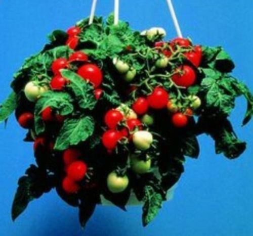- Micro Tom Tomato 25 Seeds Tomatoes on Little 8 Inch Plants Grown in Your Window