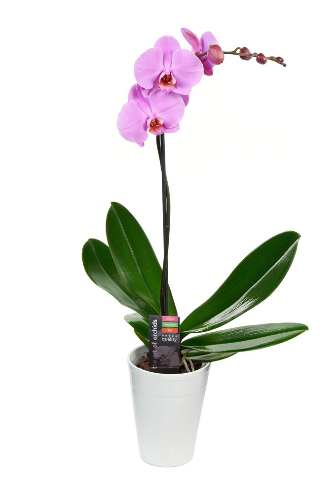 KaBloom Live Orchid Plant Collection: Purple Phalaenopsis Orchid Plant (18-24 Inches Tall) (1 Stem) in a White Ceramic Pot
