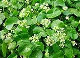 300 Centella asiatica Seeds, Indian Pennywort