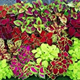 Outsidepride Coleus Fairway Mix - 200 Seeds