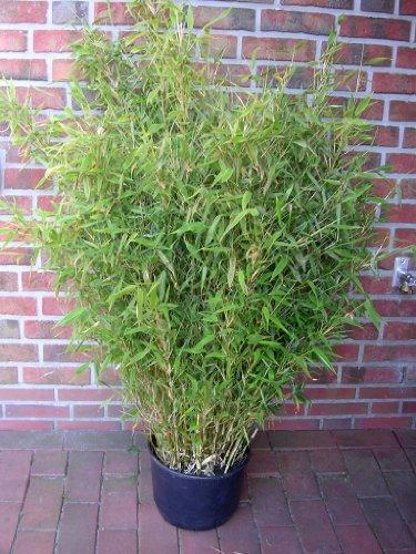 Bambus, Höhe: 160-170 cm, Fargesia Jumbo, winterharte Pflanze für den Garten !