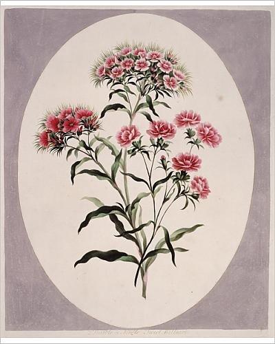 Dianthus Barbatus Sweet (Photographic Print of Dianthus barbatus, sweet william)