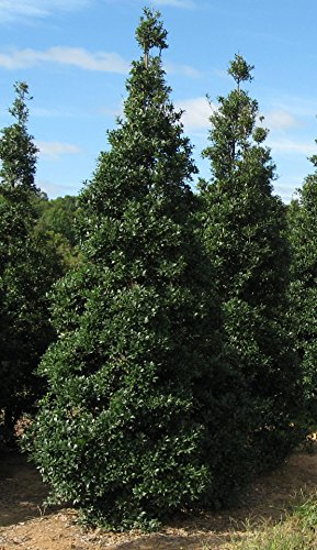 fosters-holly-healthy-2-1-2-potted-evergreen-tree-1-yr-old-12-14-tall-6-pack