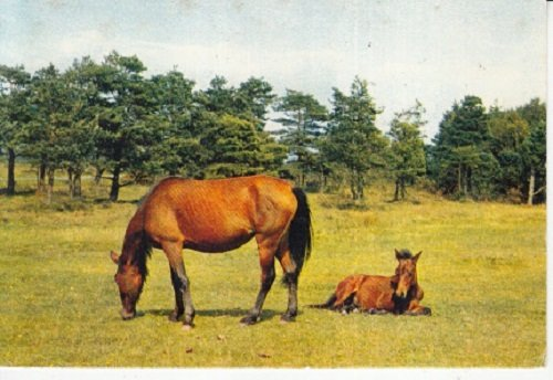 Britain Horse - Unused Postcard New Forest Hampshire Great Britain Horse Mare Her Foal