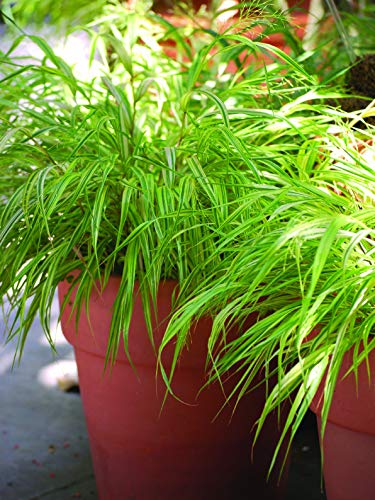 Perennial Farm Marketplace Hakonechloa macra 'Aureola' ((Japanese Forest) Ornamental Grass, 1 Quart, Golden Yellow Variegated Leaves