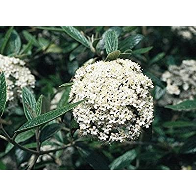 Pragense Viburnum : Garden & Outdoor