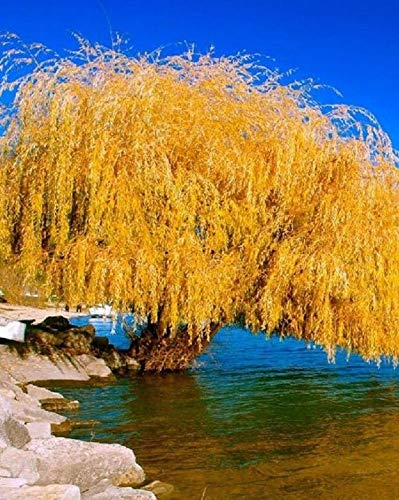 (5 Yellow Willow Seeds Tree Weeping Flower Giant Full Landscape Garded Yard)