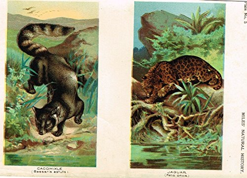 Lithograph Rare Art (Miles's Natural History -
