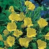 Herb Seeds - Evening Primrose - 2500 Seeds