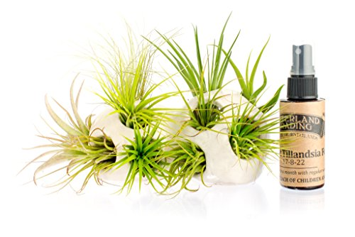 Hinterland White Trading Plant Double product image