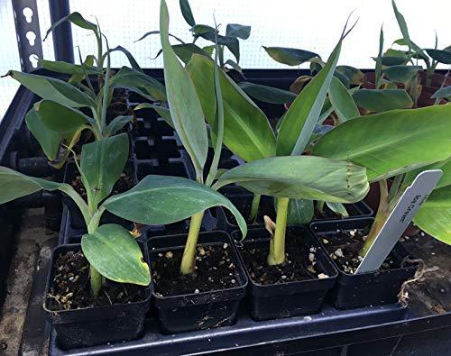 Ice Cream Banana Plant - Live Banana Tree''Ice Cream'' Rare Banana Plant by Natures Garden Nursery (Image #6)