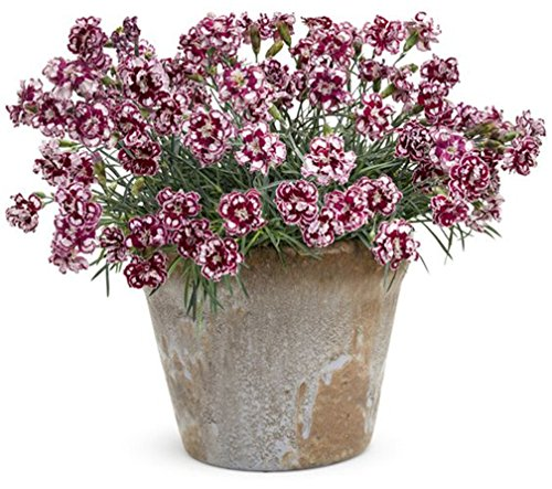 (500 Pcs/Pack Double Petal Dianthus Flower Seeds Sweet William Mixed)