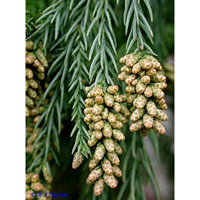 New Japanese Red Cedar, Cryptomeria japonica, 50 + Tree Seeds ( Fast, Evergreen, Bonsai ) : Garden & Outdoor